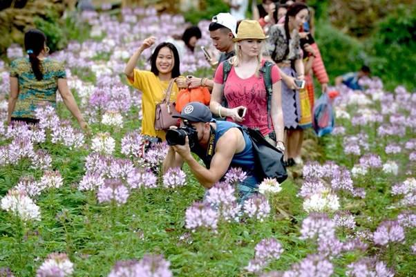 Rủ nhau ngắm hoa Đuôi công Sa Pa