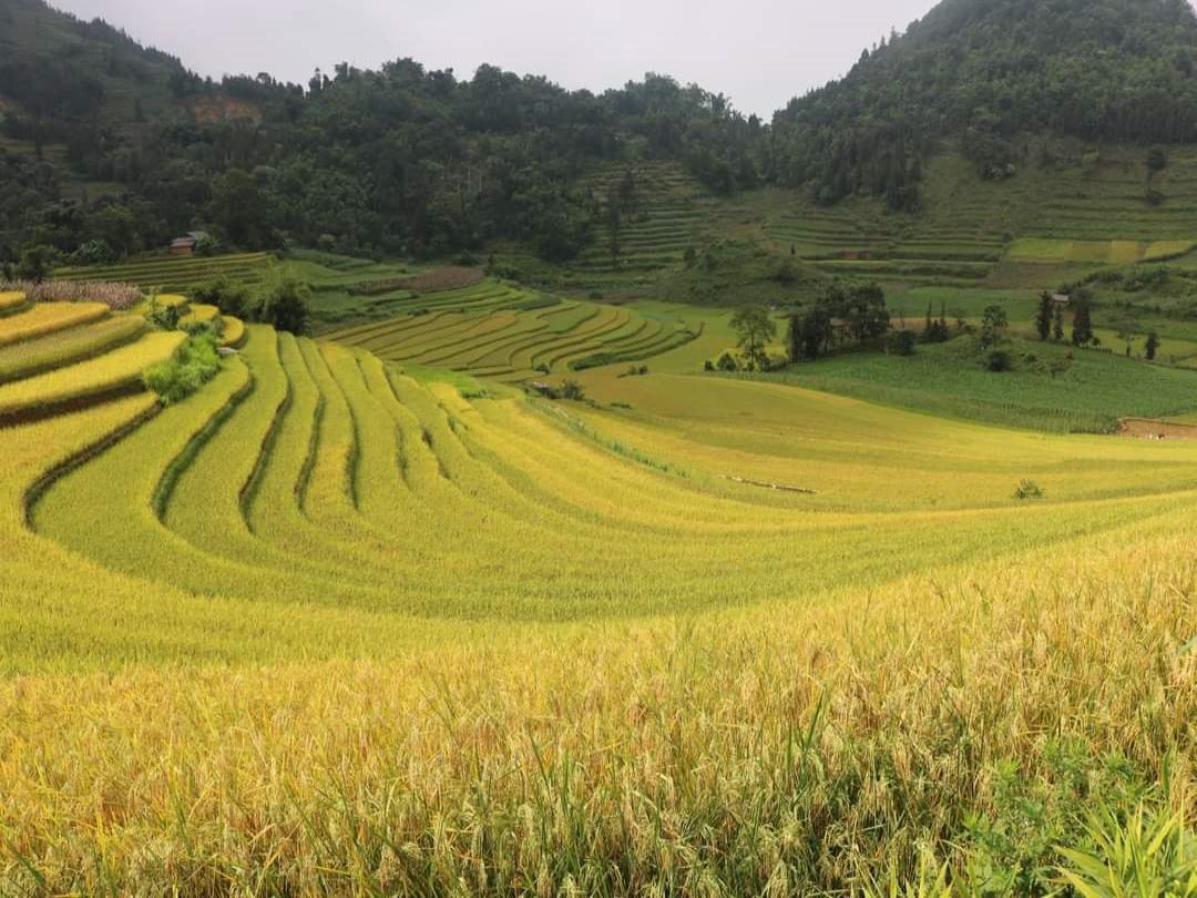 Beautiful ripe rice season in Sin Cheng - Si Ma Cai