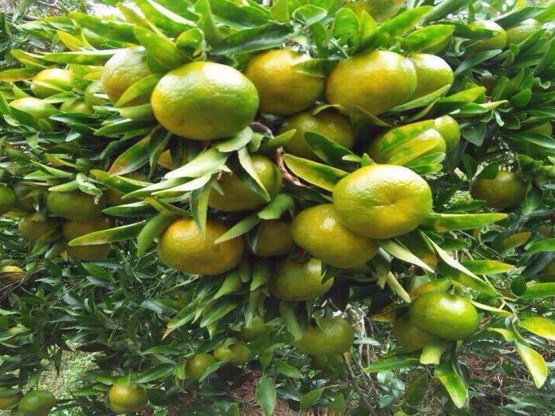 Quýt Mường Khương – Thứ quả ngọt nơi vùng cao biên giới